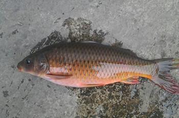 专钓野生鲤鱼鲫鱼的红薯混合饵料