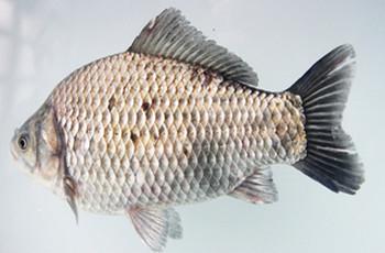 夏季深水钓鲫鱼的开饵技巧