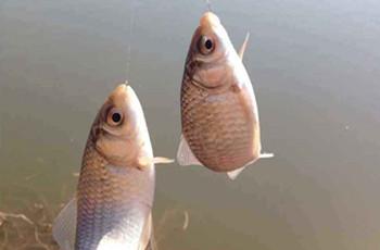 老鬼鱼饵在湖库钓鲫鱼的配方