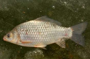 3款野钓鲫鱼的天然饵料配方