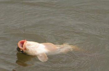 垂钓大鲫鱼鲤鱼的窝料配方