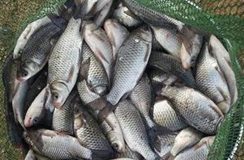 夏季钓鲫鱼纯天然红薯饵料配方