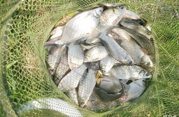 夏季野钓大鲫的4款玉米面饵料配方