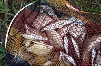 夏季自制钓鲫鱼的必杀窝料配方