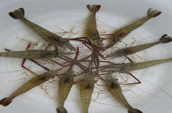 河虾和豆饼钓鲫鱼的注意事项和3个要领