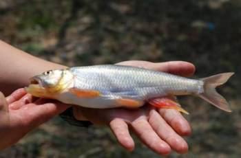 夏季手竿钓马口鱼,就用这两种钓法