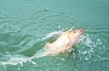 野钓鲤鱼五连招