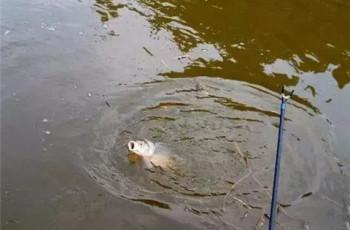 大师吐露:秋季钓鲤鱼杂鱼闹窝的问题