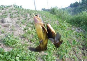水库海竿串钩钓黄颡鱼 时间段与钓法浅析