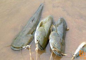 海竿串钩钓鲶鱼用饵方法与技巧