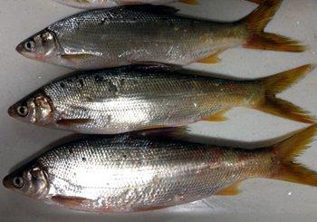 黄山太平湖钓黄尾和翘嘴鲌的奇特钓法