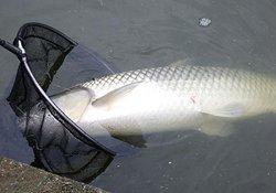 夏季气温高时钓草鱼技巧(钓位、钓具、钓组、饵料、钓法)