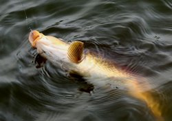 手竿钓大鱼如何溜鱼与抄鱼