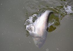 手竿钓鲢鱼的饵料搭配与钓法技巧