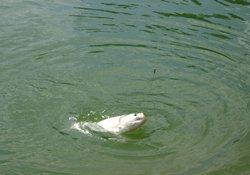 钓鲢鱼的技巧以及钓具、饵料的选用