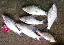 钓鲮鱼的打窝配饵技巧与垂钓方法