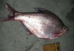 秋季钓鳊鱼的时间、饵料、钓法浅析