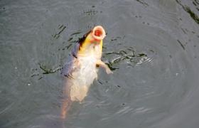 自制钓鲤鱼饵料配方 两款水库钓鲤鱼实用鱼饵