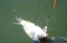 特效钓鲤鱼饵料的材料与制作方法
