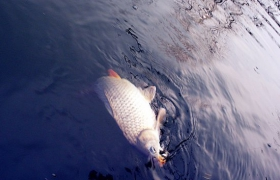 自然水域钓鲤鱼的饵料配方