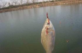 秋季调整钓组钓轻口鱼的方法