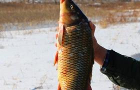 冬季钓鲤鱼的饵料味型和配方