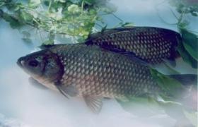 冬季野塘钓鲫鱼的技巧