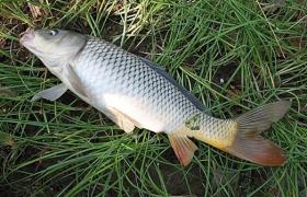 秋季水库钓鲤鱼钓饵与窝料配方分享