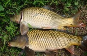 水库钓鲤鱼常用的钓饵与诱饵配方